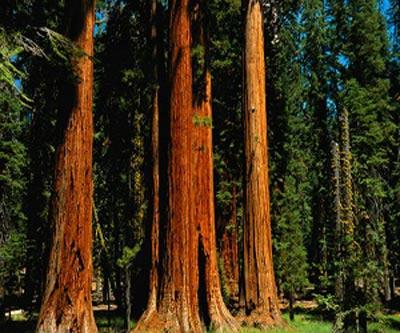 """так выглядит """"красное дерево"""""""